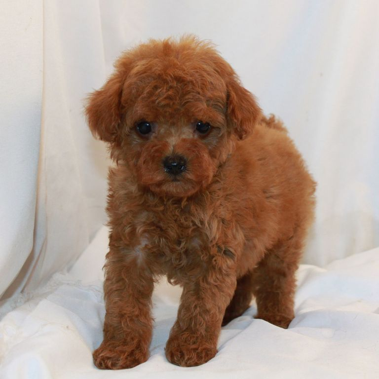 Available Poodles (1)