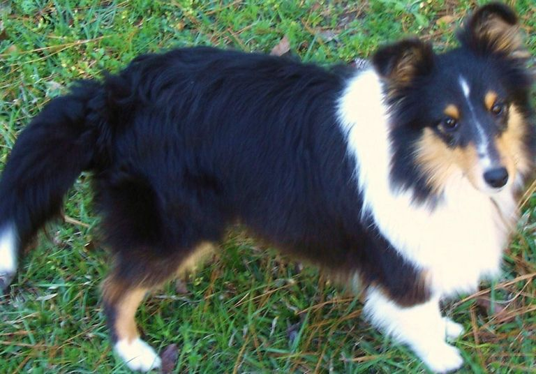 Available Sheltie Puppies