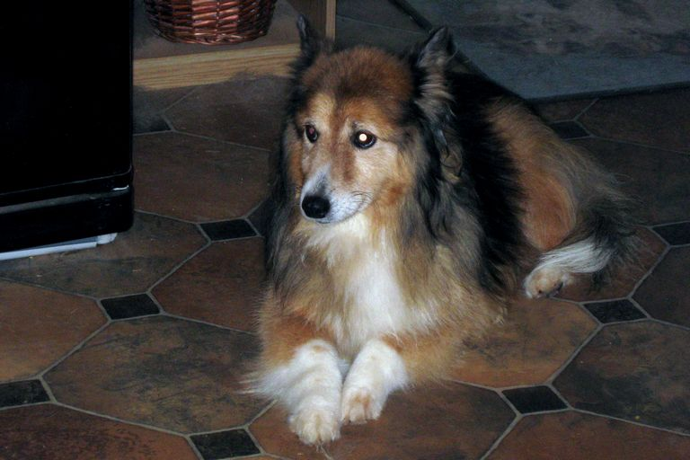 Baltimore Sheltie Rescue