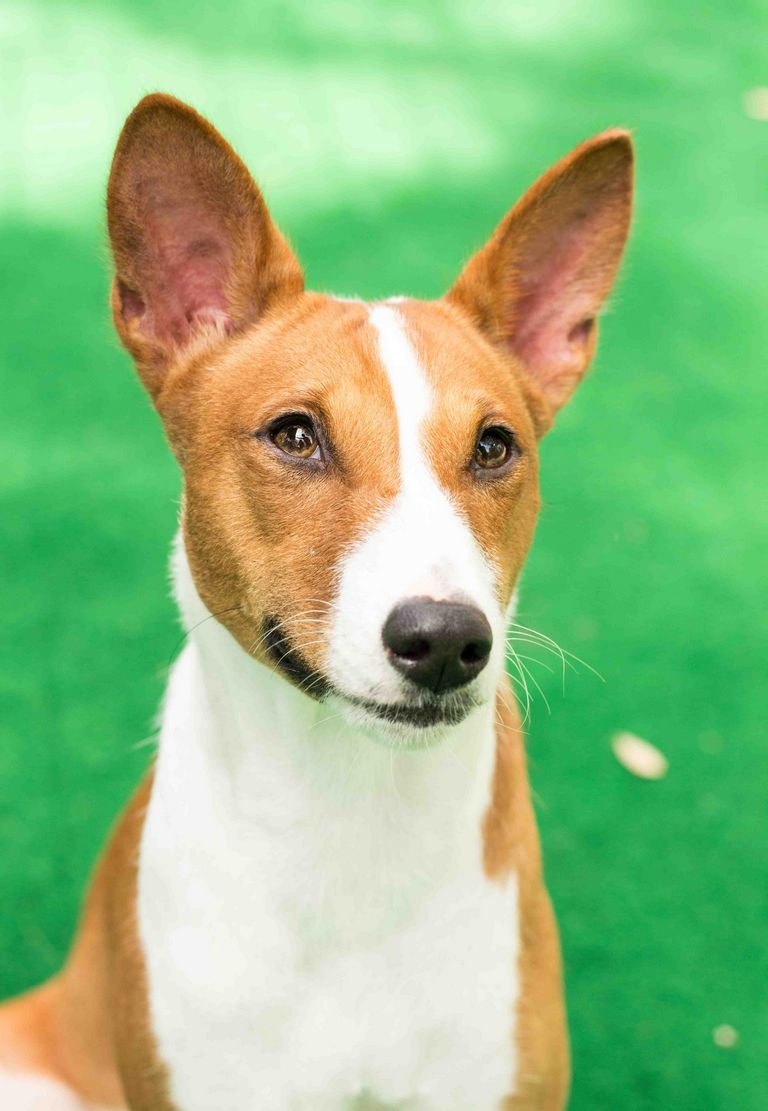Basenji For Sale In Texas
