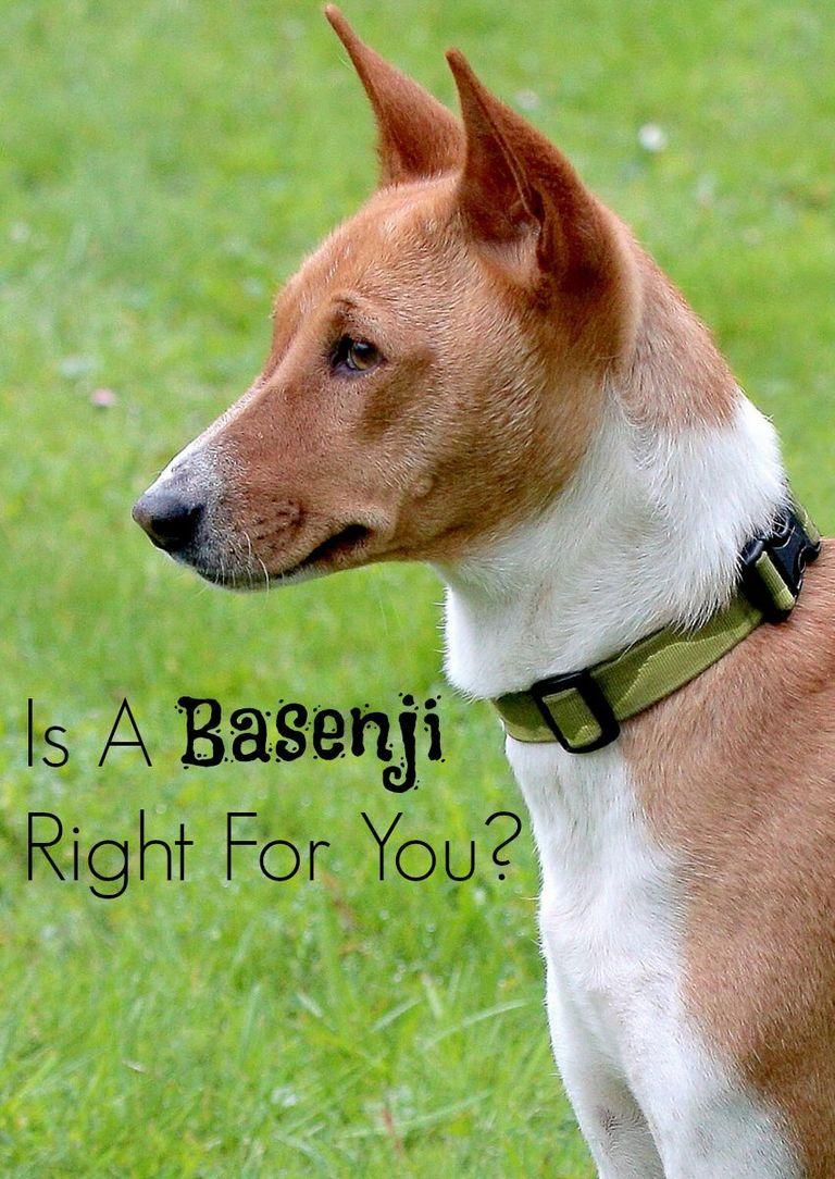 Basenji Hypoallergenic