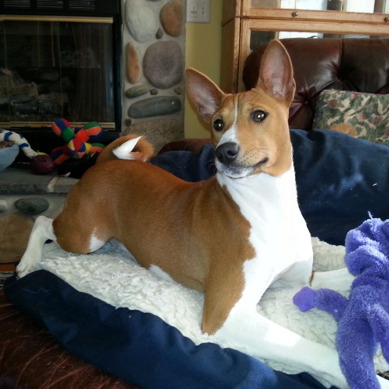 Basenji Puppies For Sale In Michigan