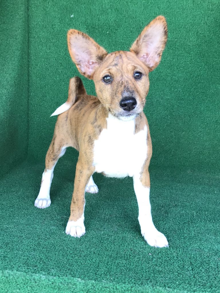 Basenji Puppies For Sale In Texas
