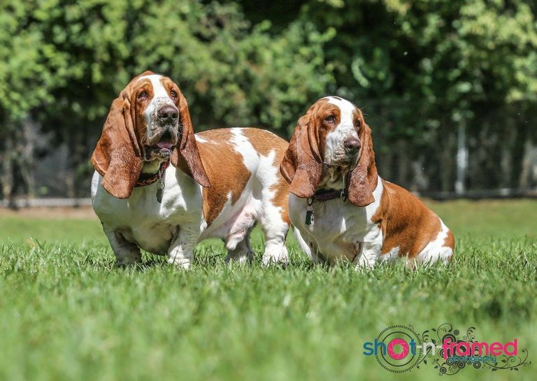 Basset Fest 2018 Wisconsin Top Dog Information