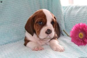 Basset For Sale