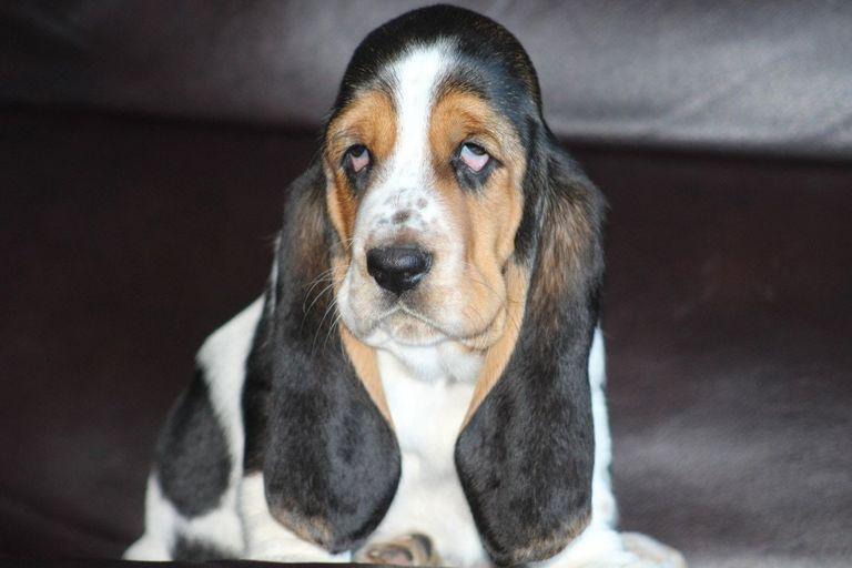 Basset Hound Breeders Florida   Top Dog Information