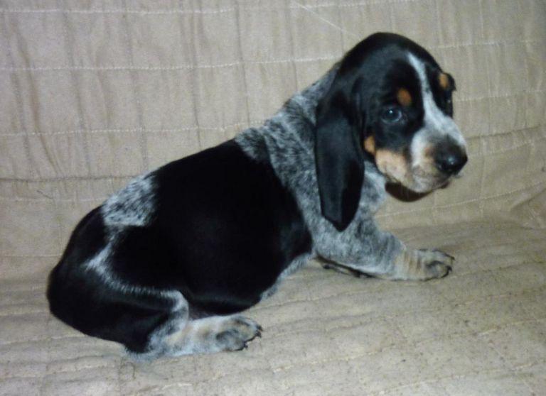 Basset Hound Puppies Dfw