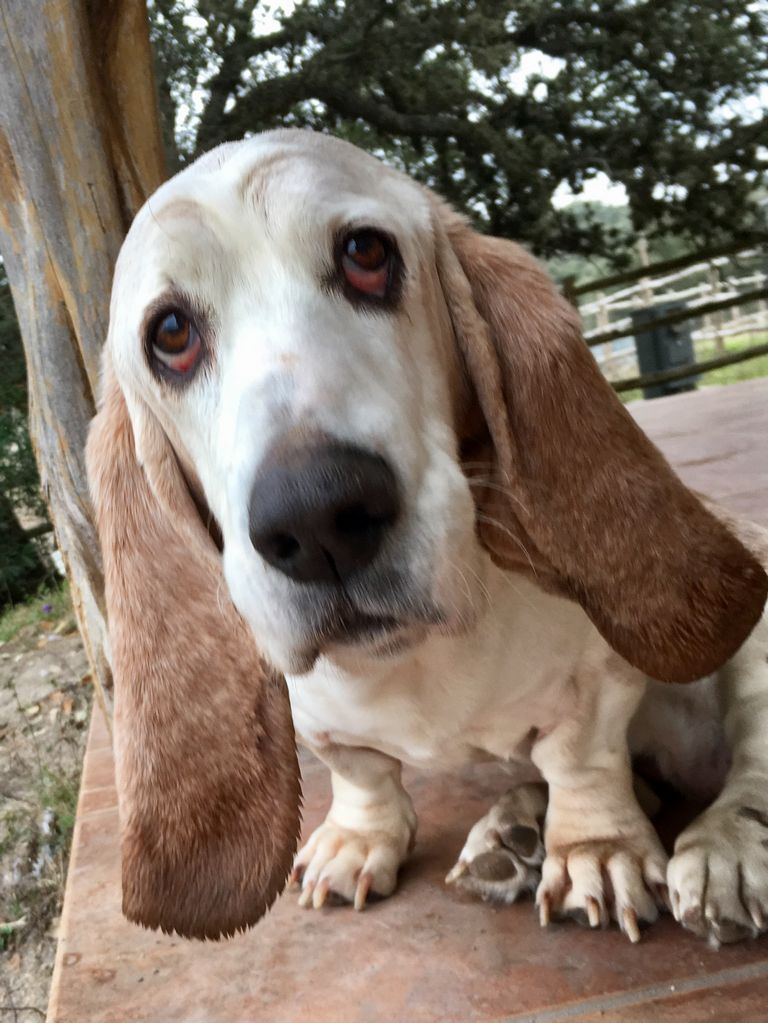 Basset Hound Puppies For Sale In Texas