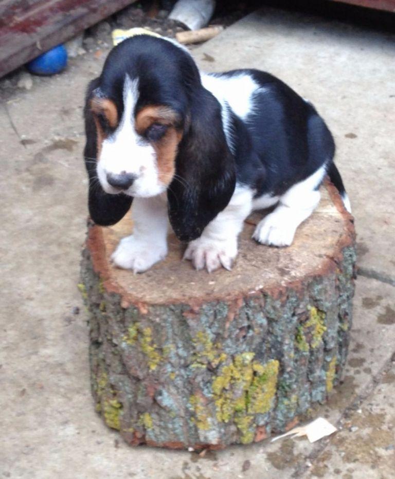Basset Hound Puppies Missouri