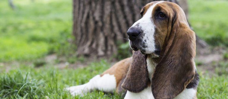 Basset Hound Puppies Pittsburgh Pa