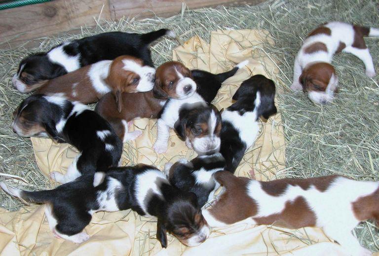 Basset Hound Puppies Ri