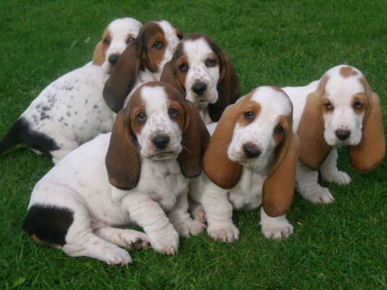 Basset Hound Puppies Virginia Beach