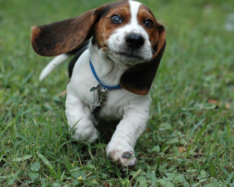 Basset Hound Rescue Wisconsin