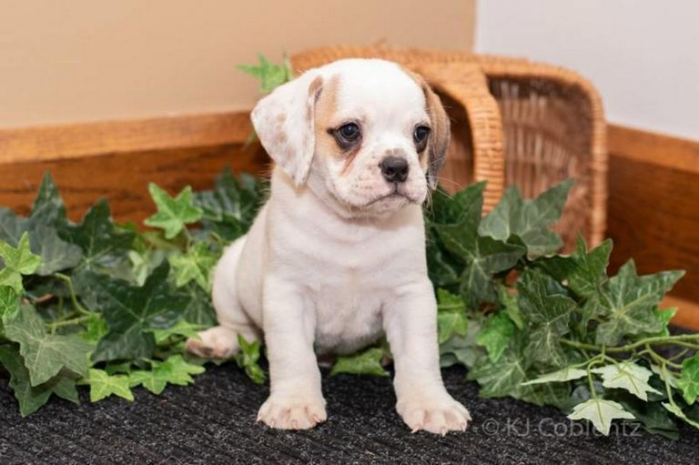 Beabull Puppies For Sale In Minnesota