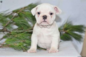 Beabull Puppies For Sale In Tennessee