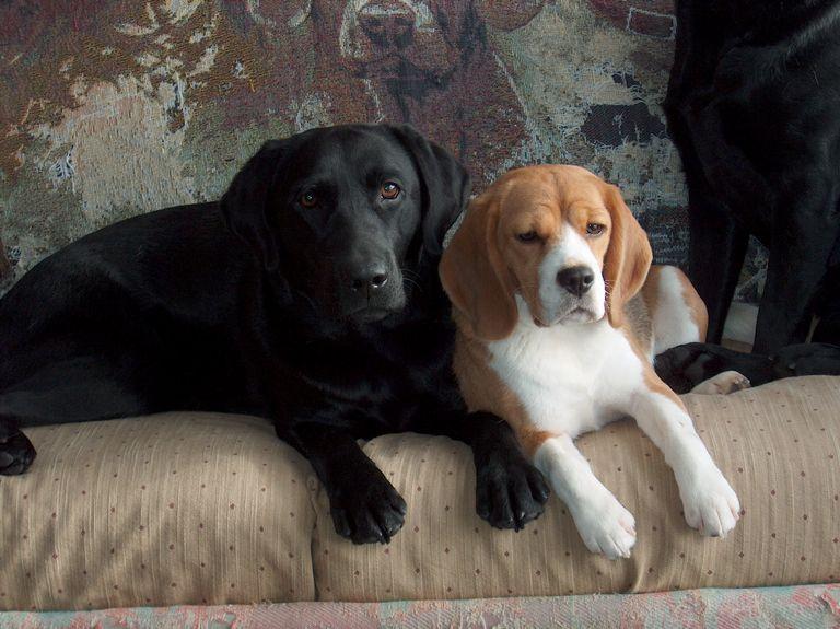 Beagle Breeders Maine