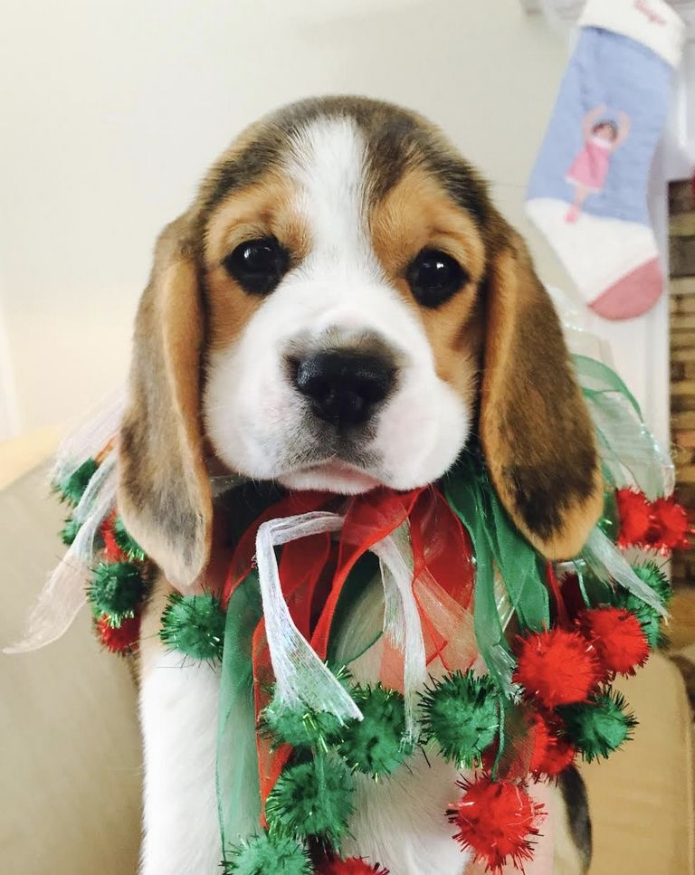 Beagle Puppies For Sale Albany Ga
