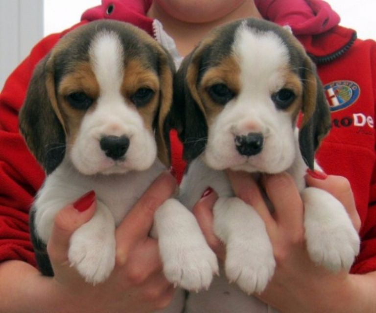 Beagle Puppies For Sale In California   Top Dog Information