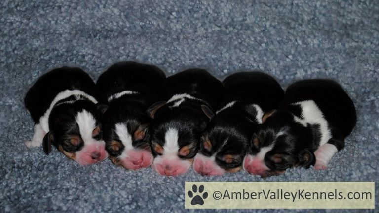 Beagle Puppies For Sale In Maryland