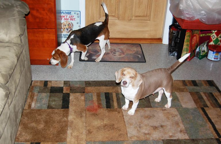 Beagle Puppies For Sale Raleigh Nc