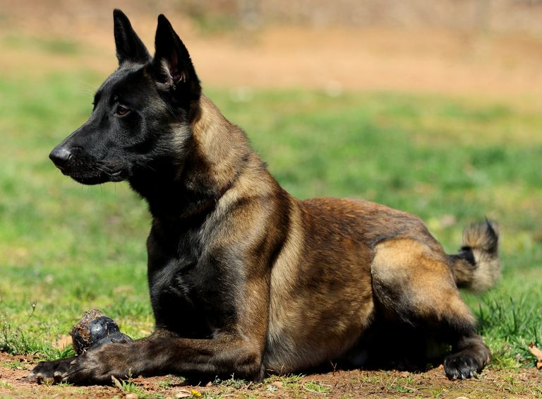 Belgian Malinois Breeders West Coast