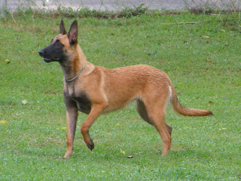 Belgian Malinois For Sale In Asheville Nc