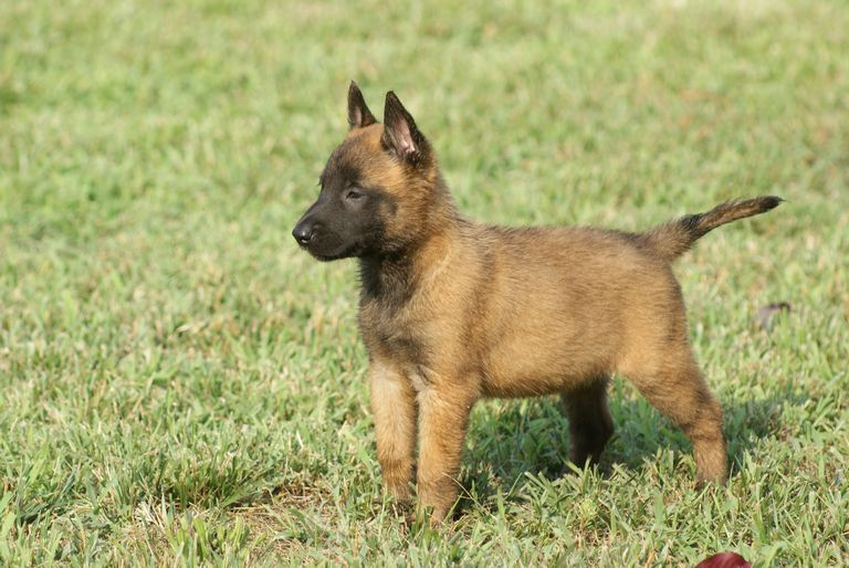 Belgian Malinois Puppies For Adoption