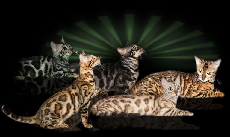 Bengal Cat Lakeland Fl