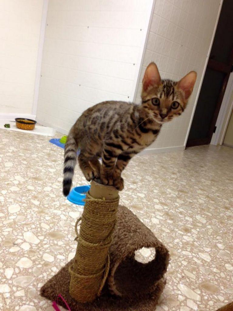 Bengal Kittens Gainesville Fl