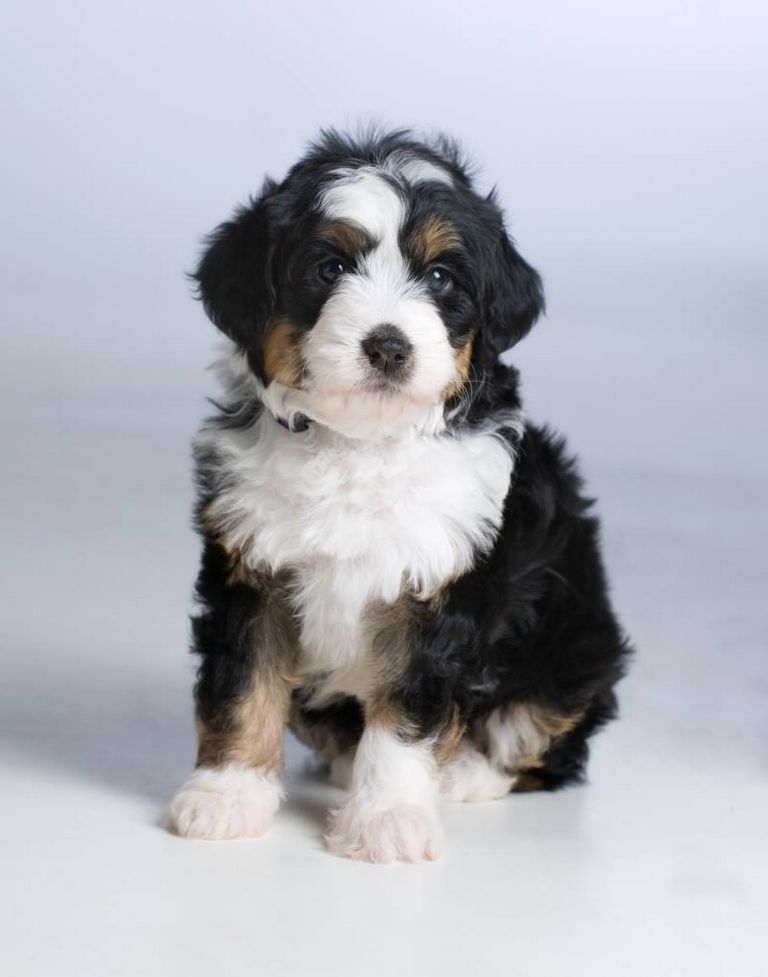 Bernedoodle Puppies For Sale In Tn