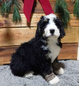 Bernedoodle Puppies For Sale Kentucky
