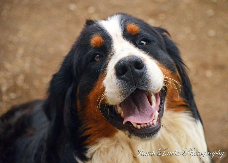 Bernese Mountain Dog Augusta Maine | Top Dog Information