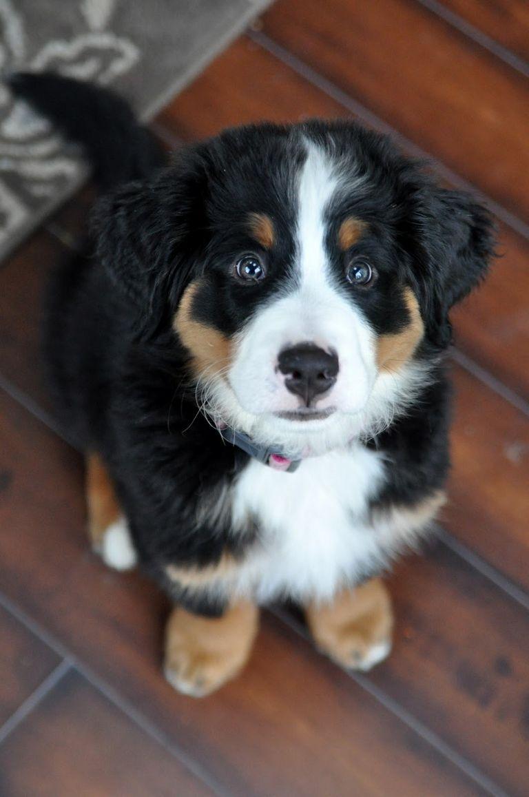 Bernese Mountain Dog Breeder Md