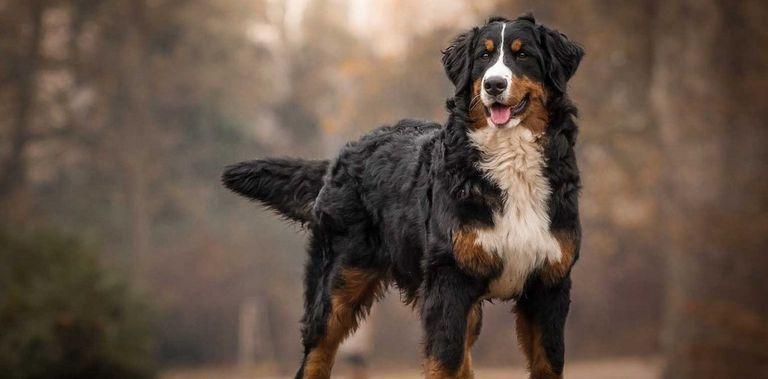 Bernese Mountain Dog Breeders Ct