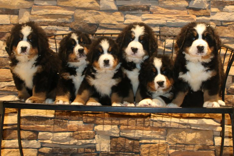 Bernese Mountain Dog Breeders East Coast
