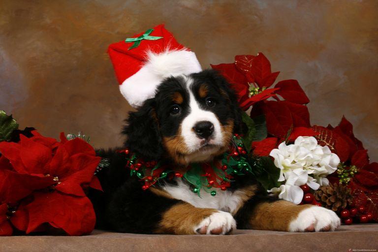 Bernese Mountain Dog Christmas
