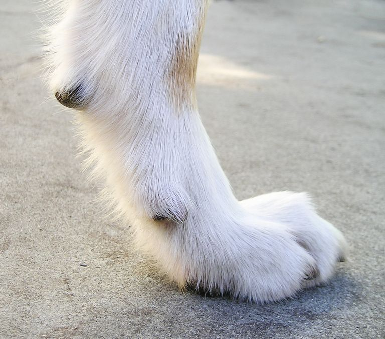 Bernese Mountain Dog Double Dew Claws