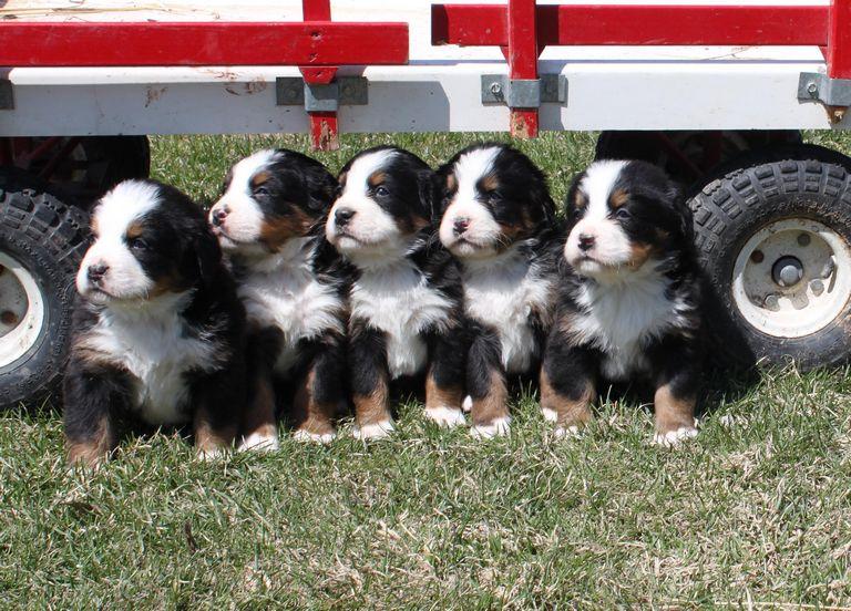 Bernese Mountain Dog Puppies Indiana