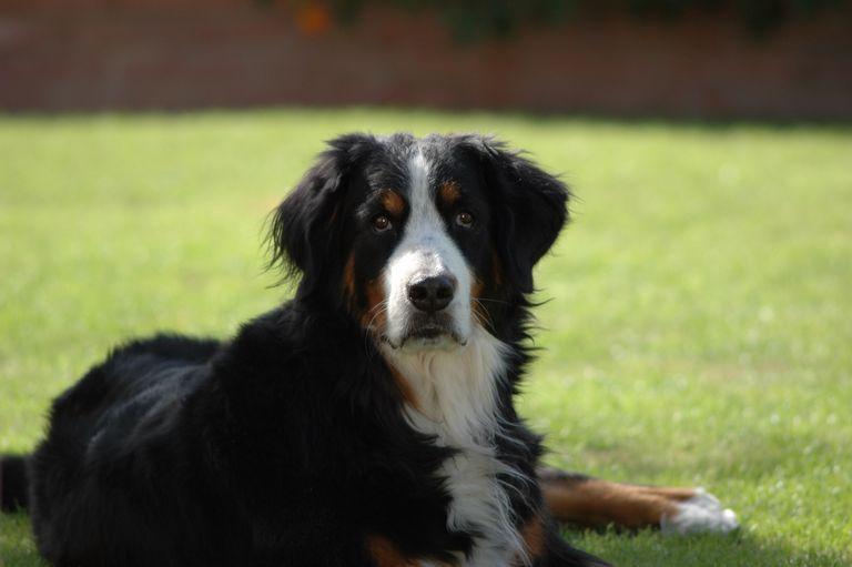 Bernese Mountain Dog Rescue Idaho