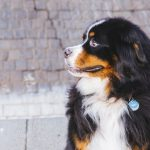 Bernese Mountain Dog Seattle