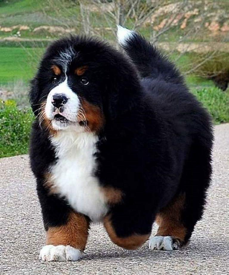 Bernese Mountain Dog Shedding