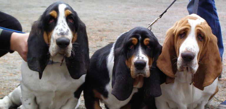 Best Basset Hound Breeders