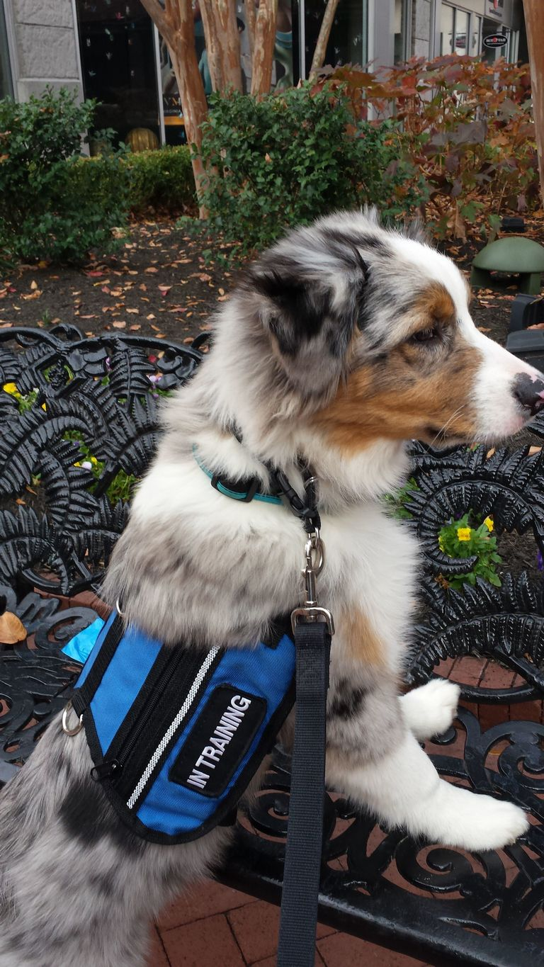 Best Dogs For Anxiety Service Dogs
