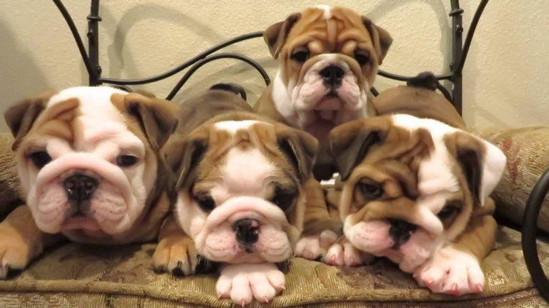 Best English Bulldog Breeders In The World