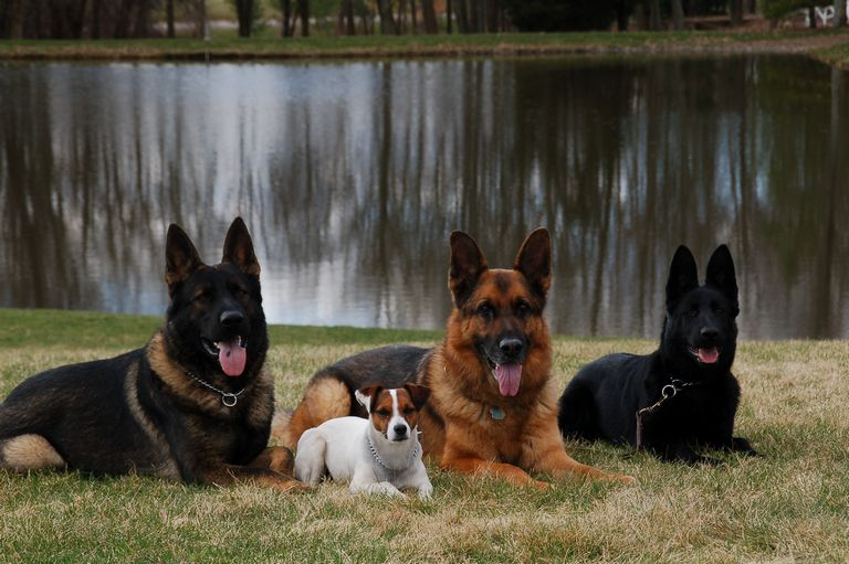 Best German Shepherd Breeders East Coast