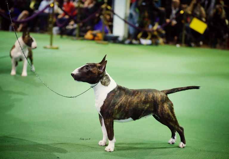Best Miniature Bull Terrier Breeders