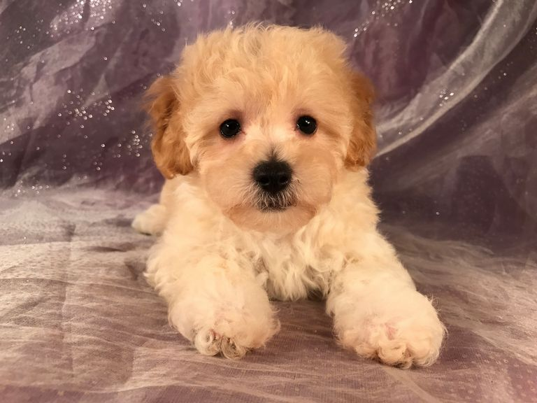 Bich Poo Puppies For Sale In Massachusetts