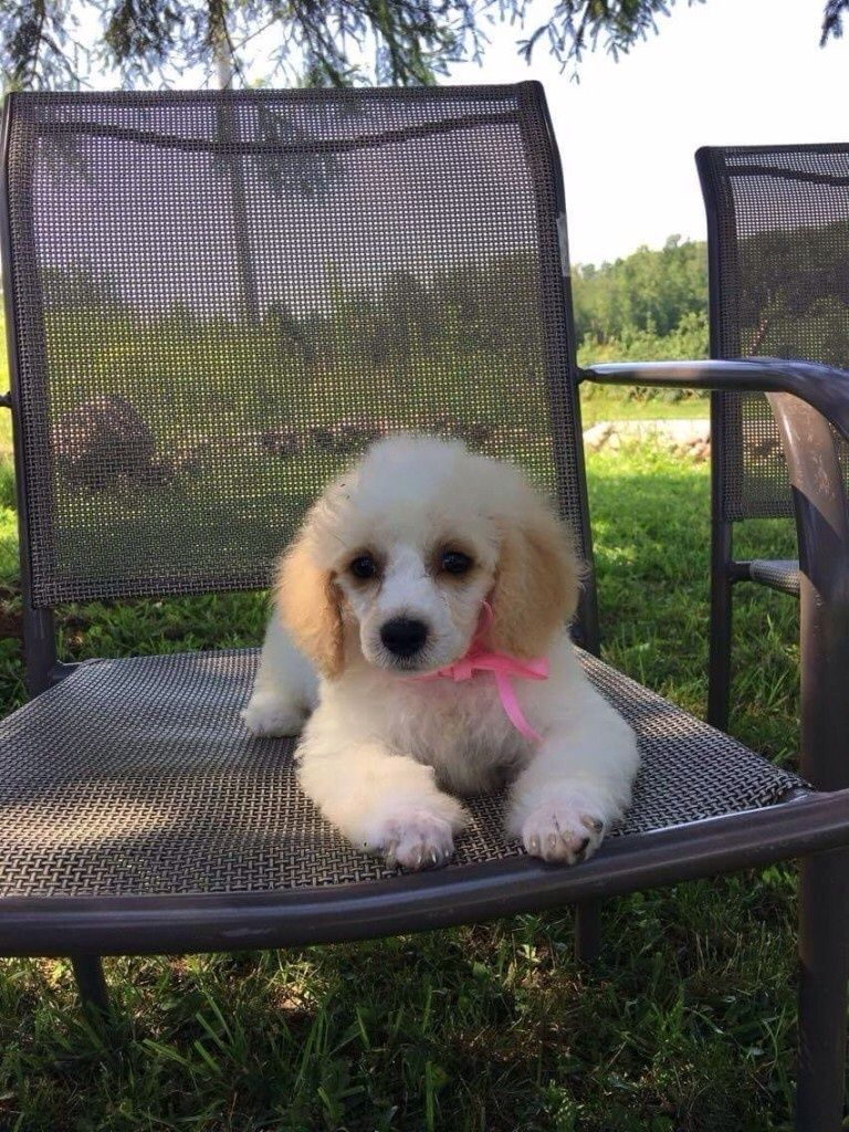 Bichon Frise Puppies For Sale In Albany Ny | Top Dog Information