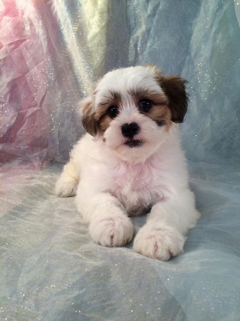 Bichon Mix Puppies For Sale In Pa