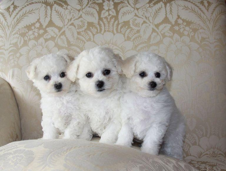Bichon Poodle Rescue